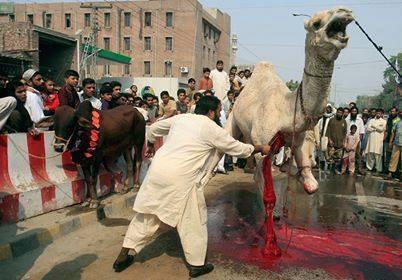 halal-camel